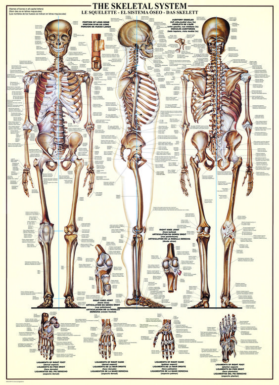 bones in a adult human body Richard
