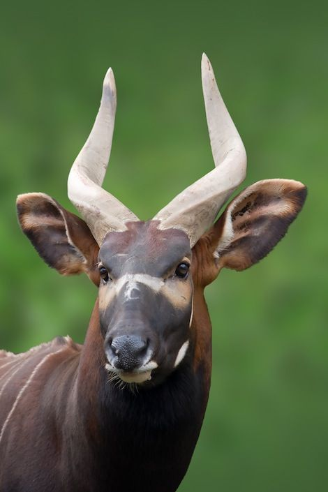 Bongo, central Africa. Unlike the Mountain Bongo, the Bongo of Central Africa is only Near Threatened. Despite this, it may soon be upgraded due to habitat loss and hunting.