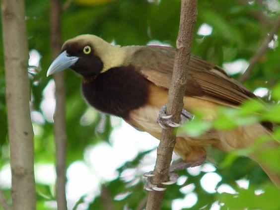 Image result for raggiana bird of paradise (paradisaea raggiana) female