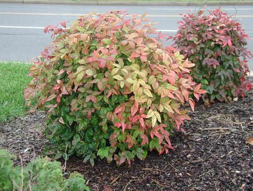 Details about Firepower ( Dwarf ) Nandina Heavenly Bamboo plants ...