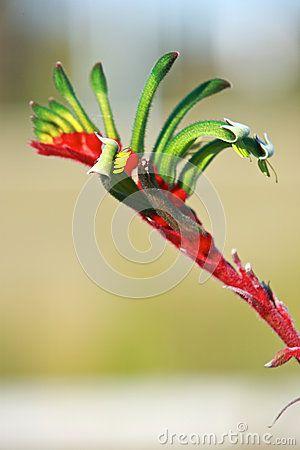 fiori della Australia - Zampa australiana rossa e verde del canguro - emblema floreale dell'Australia occidentale.Cerca con Google