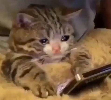 Sad Crying Cat Cartoon Vector Illustration Crying Cat Meme