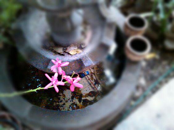 Tres flores solitarias hacen la diferencia en una fuente de piedra... Tres singles flowers make the difference in a stone fountain.