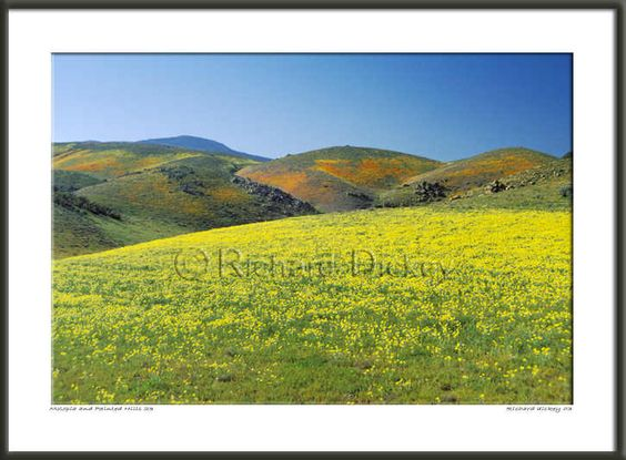 california wild flowers of yellow monolopia with painted hills in desert