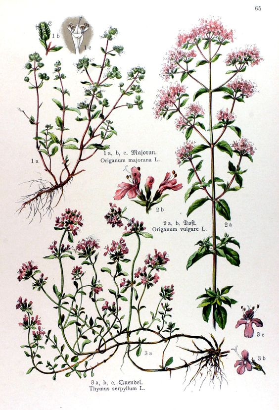 img/gravures anciennes de fleurs/gravure couleur ancienne de fleur - Origanum majorana; Origanum vulgare; Thymus serpyllum.jpg