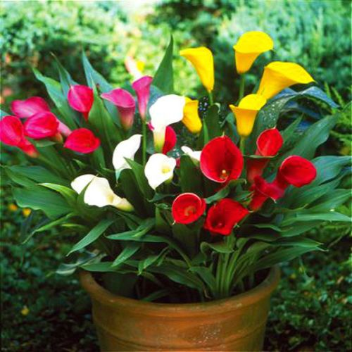 Calla Callas Flowers Colouredcallas Lily Plants Lily Flower Flower Pots