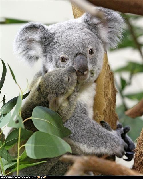 Baby koala loves mama