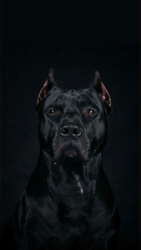 Pin By Donita Egan On Animais Scary Dogs Dog Wallpaper Pitbulls