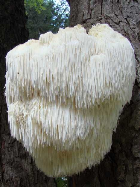 Bearded Tooth mushrooms (Hericium erinaceus) look nothing like any other mushroom you've seen, even if you've seen more than a few. This eminently edible mushroom grows on both living and dead trees (usually hardwoods) and when cooked is said to have a seafood-like color and texture.