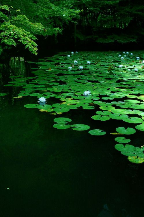 Still, quiet pond with water lilies in bloom.   GREEN ...