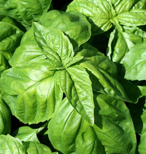 Grow Lettuce Leaf Basil Seeds in containers or your organic herb or vegetable garden. Lettuce leaf basil has large, puckered leaves that are nice in pesto.