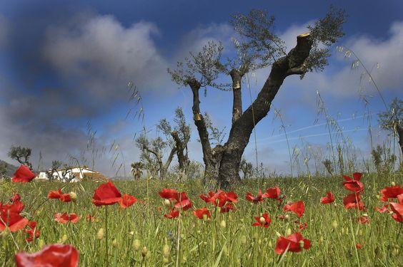 Photo olivos en primavera par PEDRO ZARAGOZA on 500px