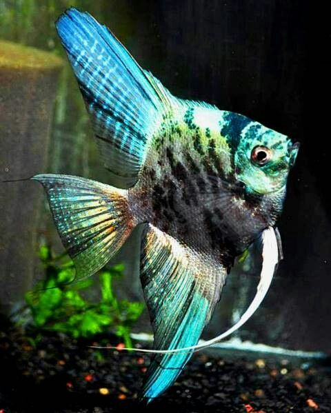 Blue Marble Angelfish Angel Fish Tropical Freshwater Fish Tropical Fish