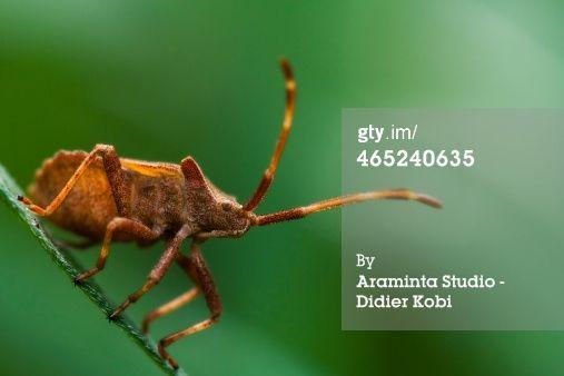 Stock-Foto : Shield Bug