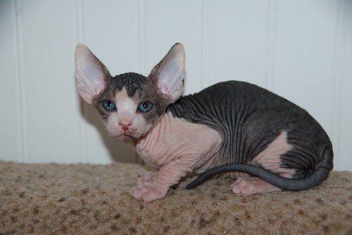 Black And White Sphynx Hairless Kitten Kittens Sphynx