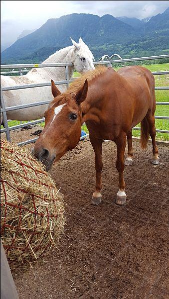 Quarter Araberstute - Pferde kaufen in Nenzing - pferdeanzeiger.at