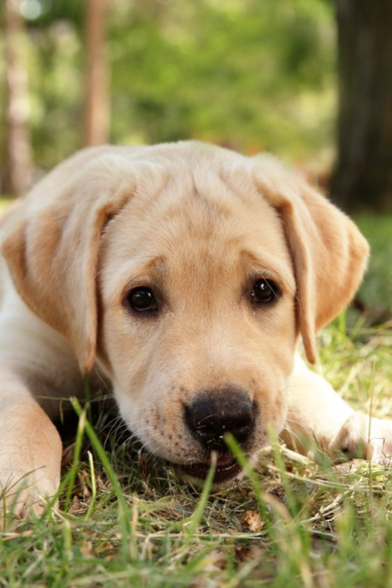 If You Love Labradors Visit Our Blog Labrador Labradorretriever Labradorcentral Retr In 2020 Labrador Retriever Golden Retriever Labrador Labrador Retriever Funny
