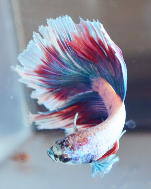 Image Gallery Most Beautiful Betta Fish