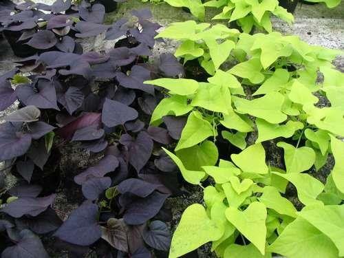 2 Types Lot Of Two Varieties Purple Green Ipomoea Batatas Flowering Morning Glory Sweet Potato Vine By Faetedga Sweet Potato Vine Garden Vines Potato Vines
