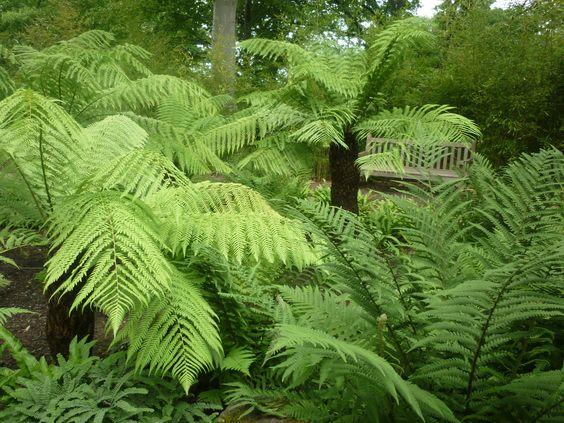 http://galasearch.de/plants/13658-dicksonia-antarctica: