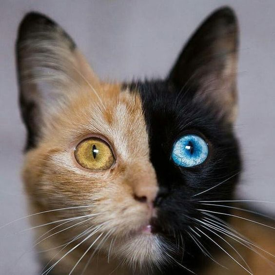 A Chimera Cat. This Is What Ha... is listed (or ranked) 1 on the list Rare And Beautiful Animals That Aren't Their Normal Color