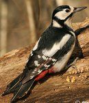 Pic épeiche  Great spotted Woodpecker