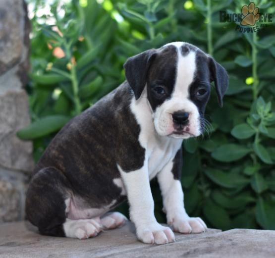 Get Excellent Suggestions On Boxer Dogs They Are Actually On Call For You On Our Internet Site Boxer Dogs Boxer Puppies Boxer Puppies For Sale