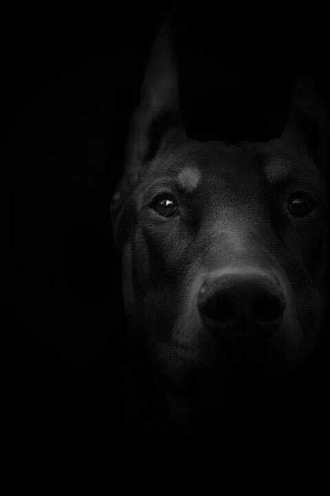 Sɴɪᴇɢᴅᴇᴊᴀ Black Colour Mood Aesthetic Dogs Beautiful