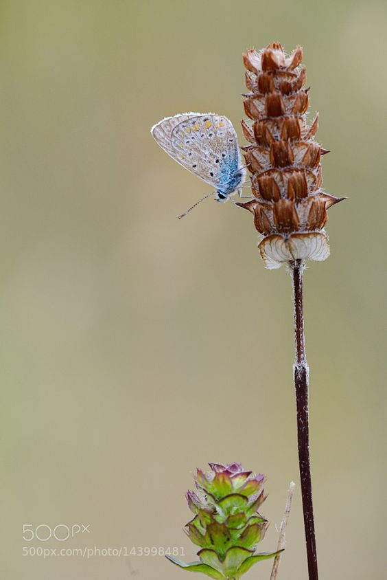 je suis le petite bleu by aitzaundi #nature #photooftheday #amazing #picoftheday