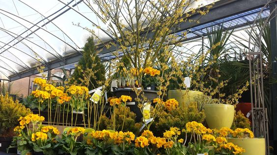 winter is a dull month so brighten your garden up with yellow flowering plants like Hamamelis & primroses