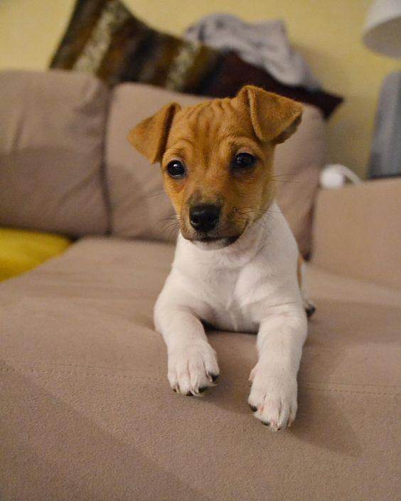 Pin By Joi Carolla On Doggo Jack Russell Terrier Puppies Jack Russell Dogs Jack Russell