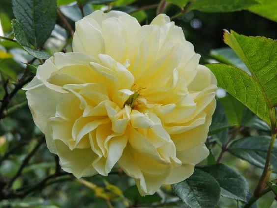 rosier jaune pâle canicule