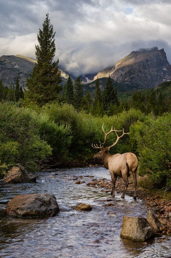 »Elk at Storm Pass, Rocky Mountain National Park, Colorado, USA« #nature #mountains #deer #photography