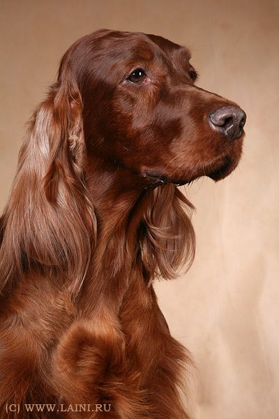 Irish Setter.  I've only ever had one dog in my whole life - an Irish Setter named Katy.  Hope to have another someday. :)