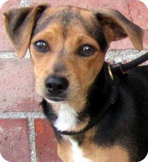 Dachshund mix, Dachshund and Puppy for adoption on Pinterest