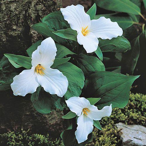 White Trillium Perennials Bulb Flowers Shade Plants
