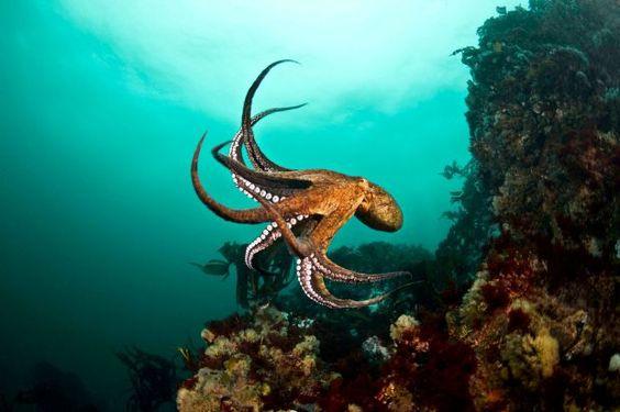 Resultado de imagen para Octopus bimaculatus
