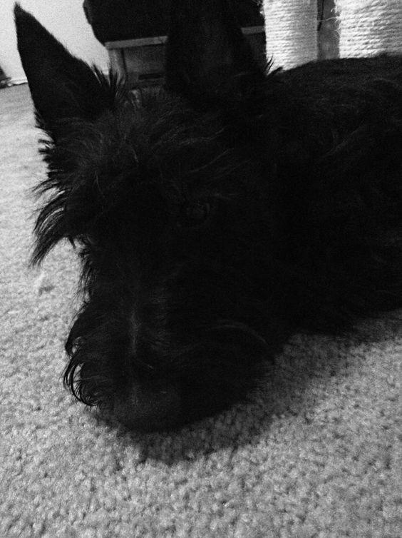 Arthur my Scottish terrier