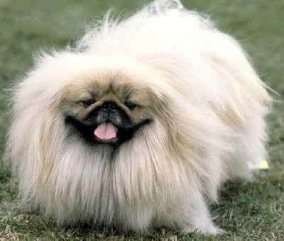 """Pekingese...with """"show-dog"""" hair"""