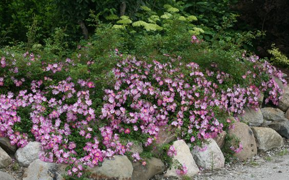 The Plant Hunter: Knockout and Other Easy Growing Roses