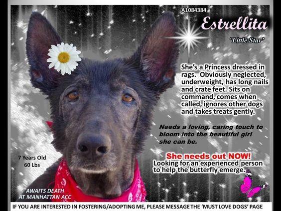 ESTRELLITA NEEDS OUR HELP --ESTRELLITA – A1084384 FEMALE, BLACK, GERM SHEPHERD MIX, 7 yrs STRAY – STRAY Intake Date 08/06/2016, From NY http://nycdogs.urgentpodr.org/estrellita-a1084384/