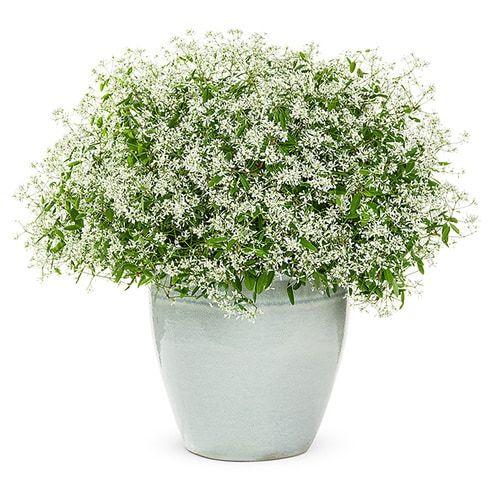 2 50 Quart In Pot Euphorbia Lowes Com In 2020 Plants Container Gardening Shade Euphorbia