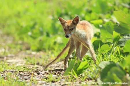 Japanese Red Fox(Vulpes vulpes japonica)ホンドギツネ