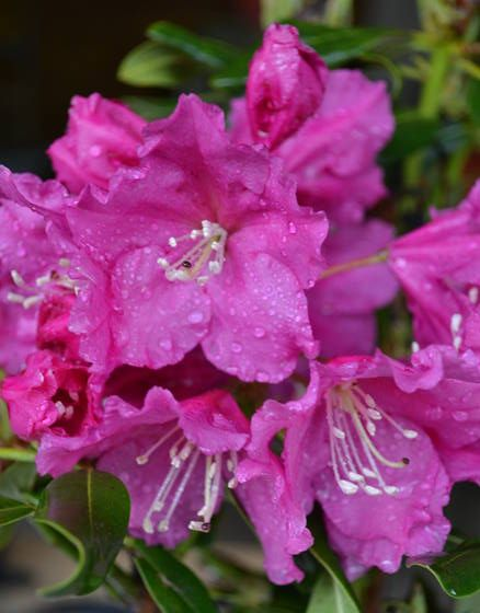 Why Rhododendrons Fail To Grow And Two Super Hardy Rhododendrons