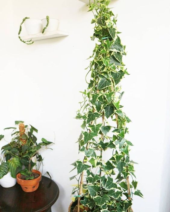 english ivy hedera helix trailing plants green foliage plants leaves cute pots f