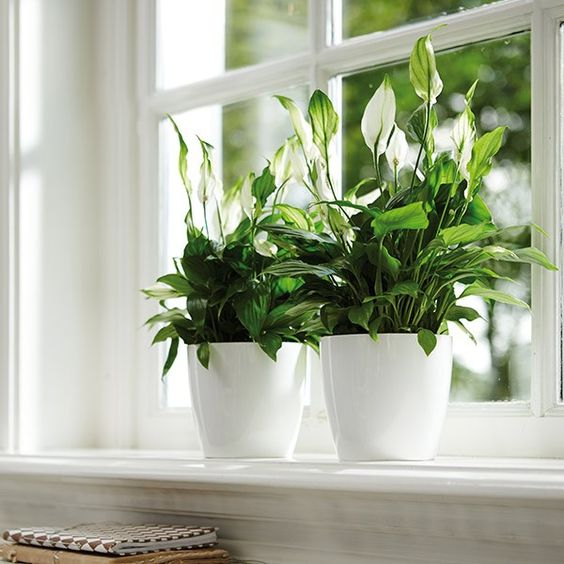 Spathiphyllum and white pot cover