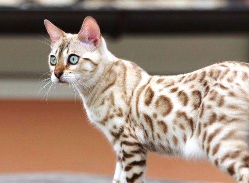 6 Allergiker Katzen Fur Uberempfindliche Samtpfotenfreunde Wohnideen Und Dekoration Bengal Katzchen Hund Und Katze Katzen