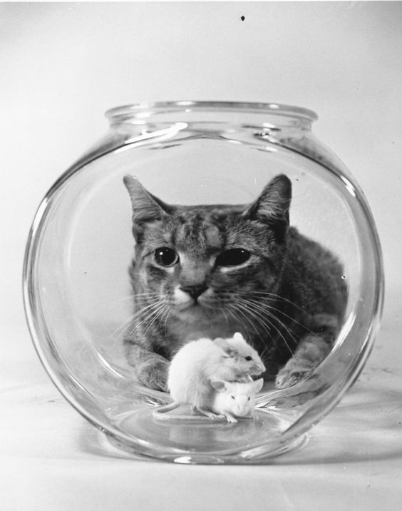 A cat watches two mice in a goldfish bowl