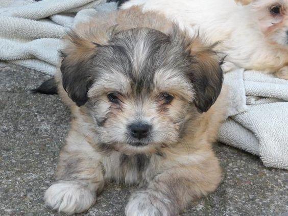 boomer pup