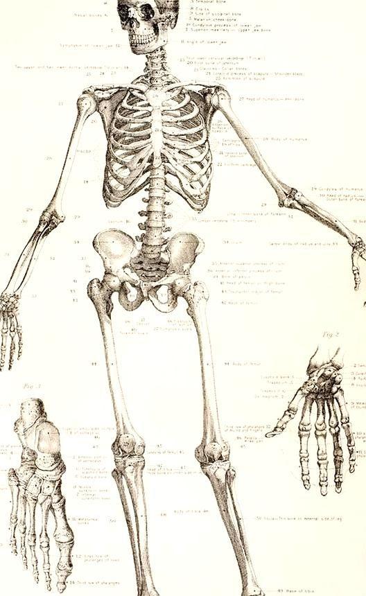The Human Skeleton Drawing In 2020 Skeleton Drawings Human Skeleton Skeleton Art